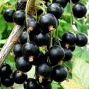 Coacăz negru Titania