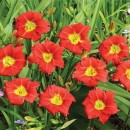 Hemerocallis Longfields Red Baron