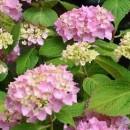 Hortensie Bouquet Rose