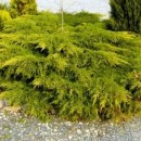 Ienupăr Galben (Juniperus Chinensis Kuriwao Gold)