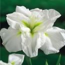 Iris Ensata White Lady