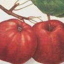 Măr Calvil roșu de toamnă