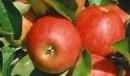 Măr Elstar