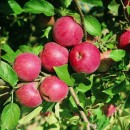 Măr Remo