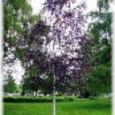Mesteacăn roșu (Betula pendula Purpurea)
