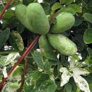 Viță de ciocolată Variegata (Akebia quinataVariegata)