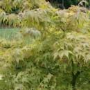 Arțar japonez (Acer palmatum)