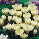 CROCUS CREAM BEAUTY  (set 5 buc.)