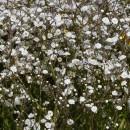 Floarea miresei albă (Gypsophila)