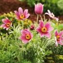 Floarea paștelui roz