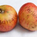 Măr Busuioace