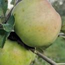 Măr Citron
