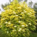 Soc Aurea (Sambucus nigra Aurea)