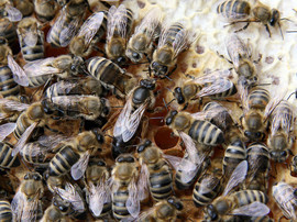 Mated Carpathian Bee Queens delivery everywhere in EU for sale images
