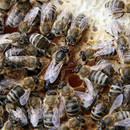 Mated Carpathian Bee Queens delivery everywhere in EU for sale