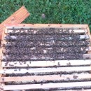 Family Bees saled at start of the season for sale