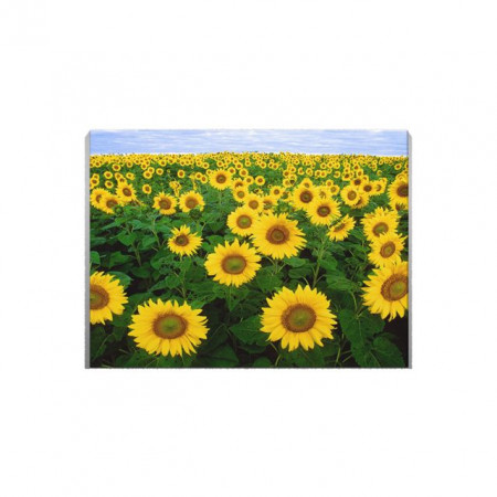 Tablou Canvas Camp de Floarea Soarelui