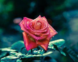 Tablou canvas - trandafir 01
