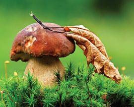 Tablou canvas - ciuperca