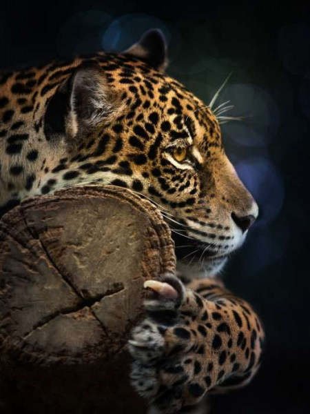 Panthera close up wall mural - 11892A