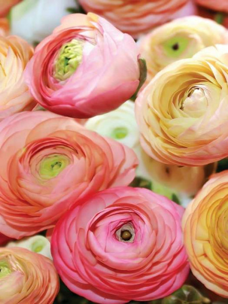 ranunculus flower closeup image - 2298A