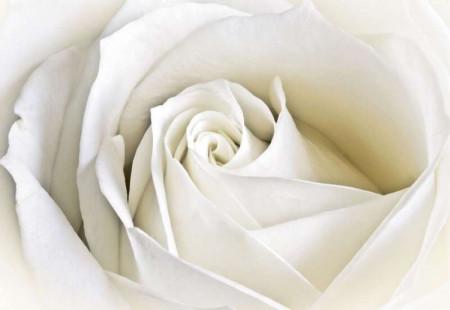 Single white rose macro shot photowall - 8-001