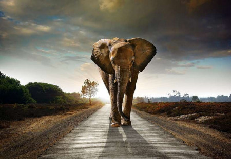 Elephant, wall posters of wild animals - 12616