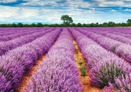 Lavender field wallpaper - 11039