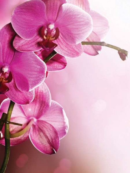 Pink orchids photowall - 1033A