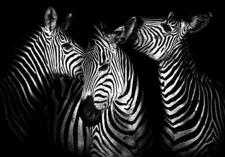 Zebras, black and white wallpaper of animals - 11761