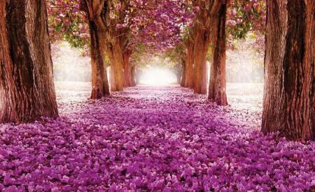 Cherry spring blossom path wallpaper - 2378