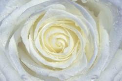Creamy rose macro shot living room wall mural - 663