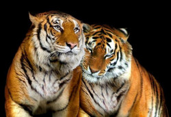 Tigers in love wall mural - 10173