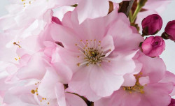 Cherry blossom wallpaper - 8-020
