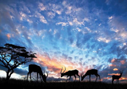 Antiloops, animal wallpapers, Africa - 12642