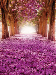 Blossomed cherry tree path - 10236A