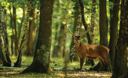 Deer in the forest wall mural - 2287