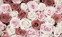 Endless red and white roses wall mural -1629