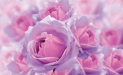 Pink roses bouquet out-of-focus effect photowall - 3662