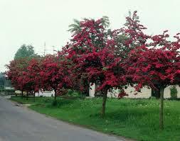 Paducel ornamental cu flori rosii-Crataegus laevigata Crimson Cloud