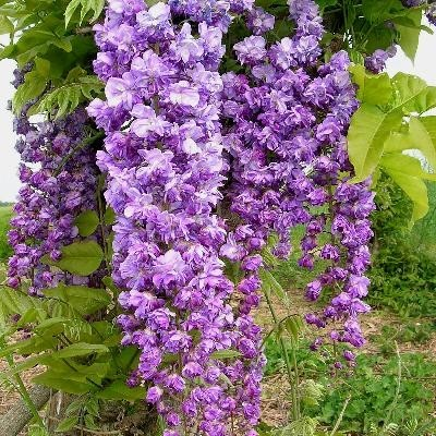 Glicina cu flori batute sau WIsteria Floribunda Violaceea plena