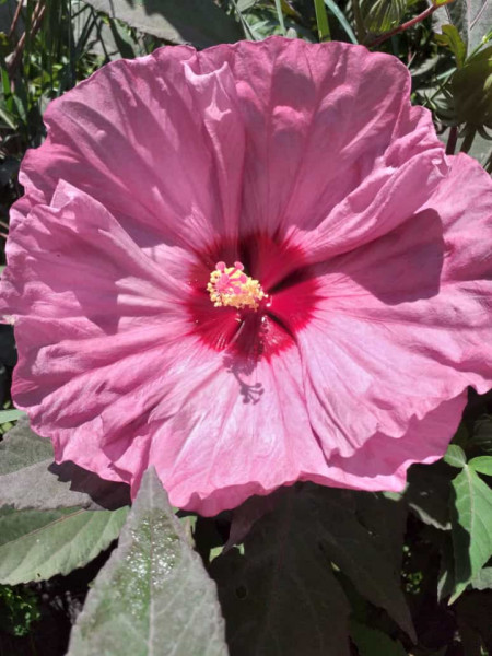 Hibiscus Moscheutos Summerific Berry Awesome
