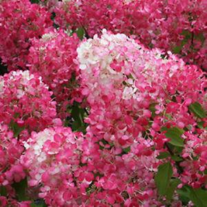 Hortensia paniculata Diamant Rouge