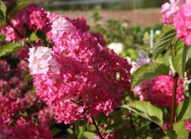 Hortensia paniculata Fraise Melba