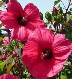 Hibiscus Moscheutos Planet Griotte Tangri