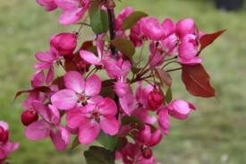 Mar ornamental cu flori rosii- Malus Liset