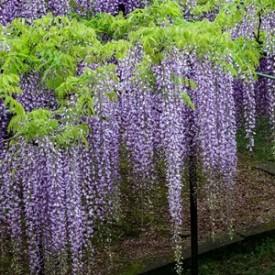 Glicina sau wisteria floribunda Multijuga