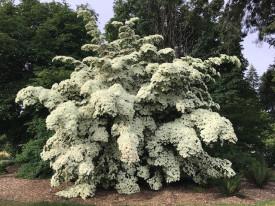 Cornus Kousa ,,White Giant'