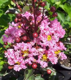 Liliac indian cu frunza rosie , Lagerstroemia indica Red 100-120 cm