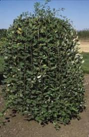 Salix caprea Pendula 180 cm